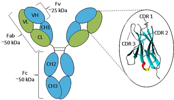Geannoteerde afbeelding van een IgG-antilichaam