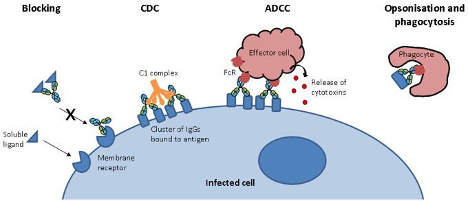Modes of action of IgG antibodies including blocking, CDC, ADCC, opsonisation and phagocytosis