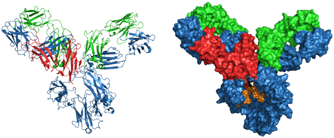 Structure of human IgG-FcgRIII showing Fc receptor binding epitope