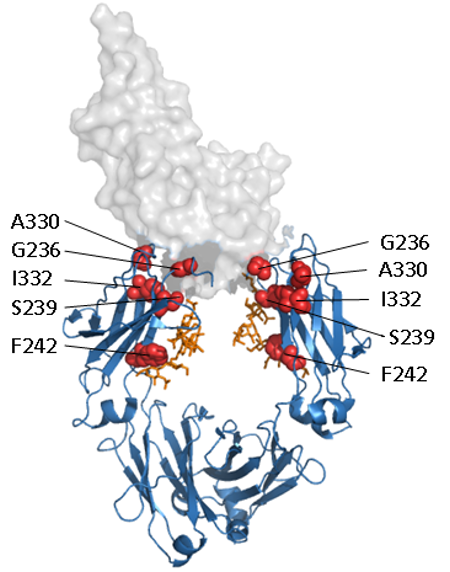 Mutations to increase binding to Fc receptors (FcRs) and increase ADCC and CDC