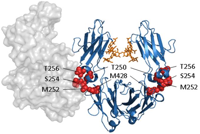 Antibody engineering to increase IgG half-life