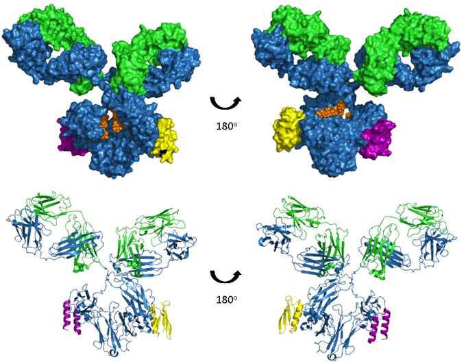 Binding epitope for protein A and protein G on Fc domain of IgG antibody