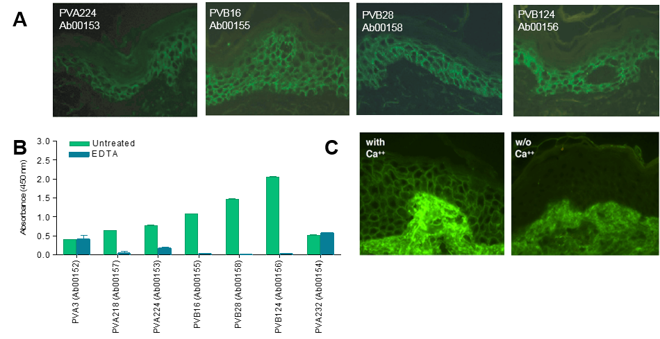Indirect immunofluorescence (IF) staining of live keratinocyte monolayers with pemphigus vulgaris auto-antibodies (A) Cryosections of human skin stained with biotinylated DSG3-specific monoclonal antibodies (Ab00153, Ab00155, Ab00158 and Ab00156). (B) Staining of human epidermis with biotinylated PVB28 (Ab00158) in the presence (with) or absence (w/o) of Ca2+. (C) Binding of a panel of pemphigus auto-antibodies to DSG3-coated ELISA plates in the presence or absence of EDTA.