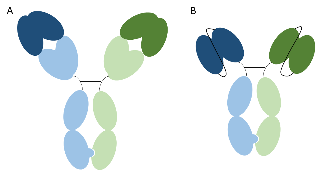 Figure 2. Heterodimeric bispecific antibodies. Image A shows a heterodimeric IgG and image B shows a heterodimeric scFv-Fc. One heavy chain and light chain pair is shown in blue and the other in green. The variable domains are shown in a darker shade. The Fc domain contains mutations that result in the preferential formation of heterodimer. Both formats shown are bispecific and monovalent.