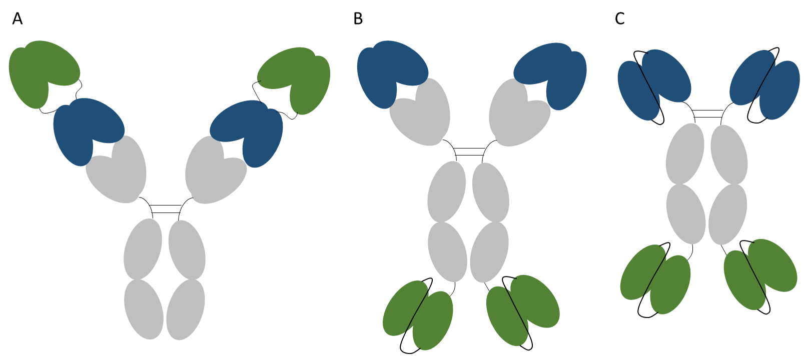 Figure 3. Bispecific antibody fusions. Representations of a dual variable domain antibody (A), an IgG-scFv (B) and a scFv-Fc-scFv (C). In each format one pair of variable domains is shown in blue and the second pair in green. All formats shown are bispecific and bivalent.