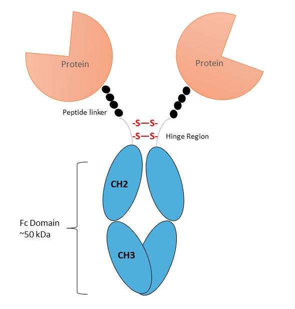 Fc Fusion Protein Diagram