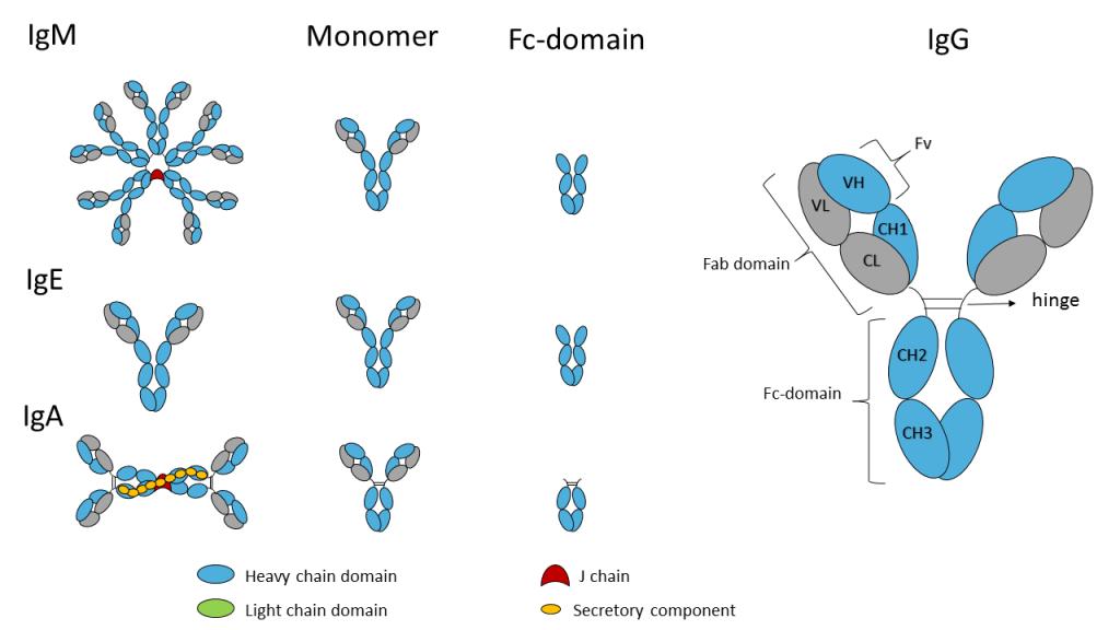 Fc-domain 2b
